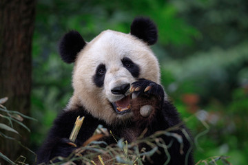 Fotomurales - Happy Panda Bear Waving at the Viewer, Bifengxia Panda Reserve in Ya'an - Sichuan Province, China. Endangered Species Animal Conservation, Fluffy cute panda bear waving its paw in the air