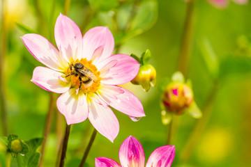 Pinke Halskrausendahlie (Asteracea) an sonnigem Sommermorgen.