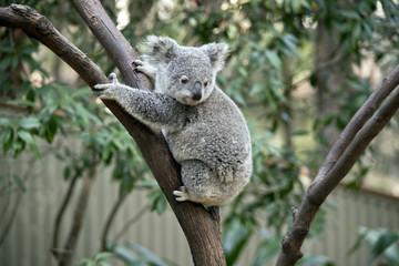 Foto op Textielframe Koala joey koala