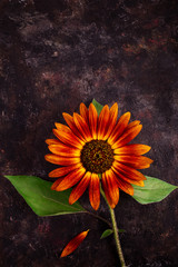 Decorative sunflower on dark grunge background with copy space