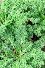 Growing kale cabbage in garden outdoors closeup