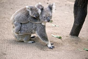 koala with joey on her back