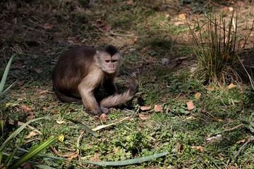 Full body of white-headed Capuchin New World monkey of the subfamily Cebinae