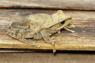Image of Frog, Polypedates leucomystax,polypedates maculatus. Reptile. Animal.