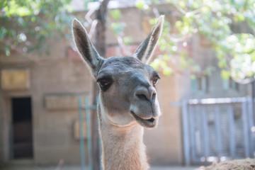 Close-up alpaca