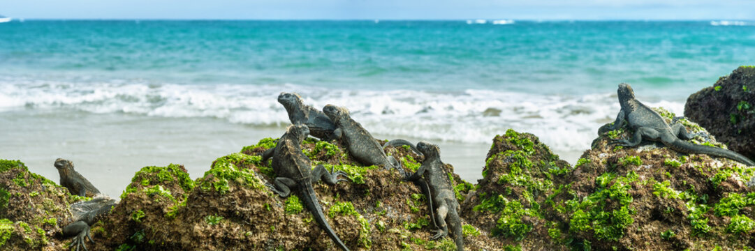 Galapagos islands marine iguanas wildlife relaxing on beach banner panorama of ocean background in Isabela Island, Islas Galapagos. Travel lifestyle.