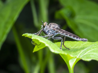 A macro picture of an insect that called as Rober Fly