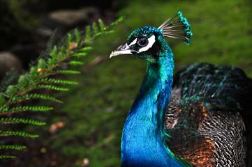Peacock close up