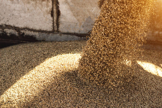 plant for processing and storing grain, loading grain into a truck body, close-up, works seed