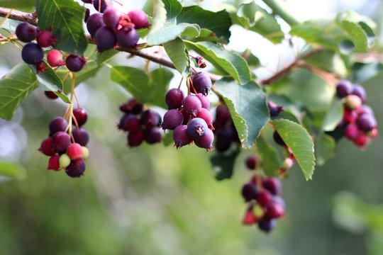 Irga is a genus of plants in the family Rosaceae deciduous shrub.