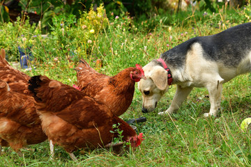 Domestic animals chicken dog and cat eating together  as best friend