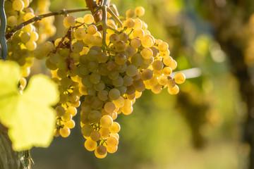 ripe white grapes, waiting for harvest