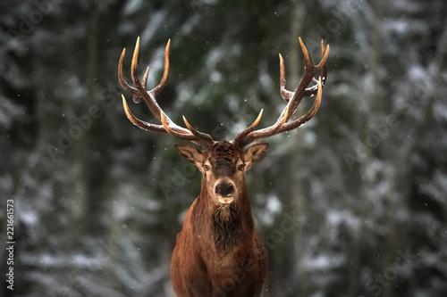 Fototapete Noble deer male in winter snow forest.