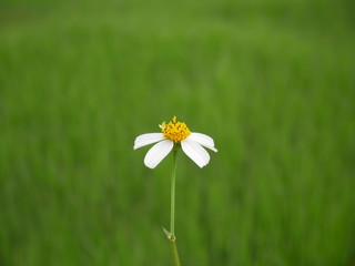 daisy in the grass,nature flower