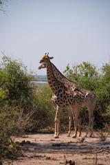 Giraffe in Chobe National Park, Botswana