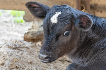 Dairy fresian calf on the farm