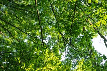 Treetop, canopy of the tree