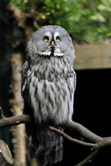 Full body of adult great grey owl (Strix nebulosa) on the tree branch