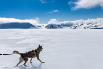 Brave husky walking in the snow of the Svalbard mountains