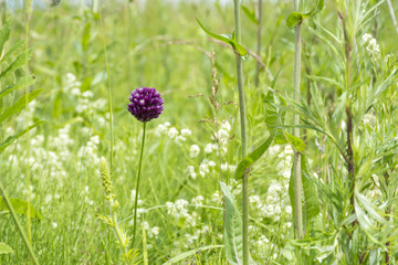 1 flower with purple petals in the meadow among the green grass