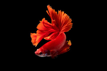Foto op Plexiglas Vissen The moving moment beautiful of red siamese betta splendens fighting fish in thailand on black background. Thailand call Pla-kad or biting fish.