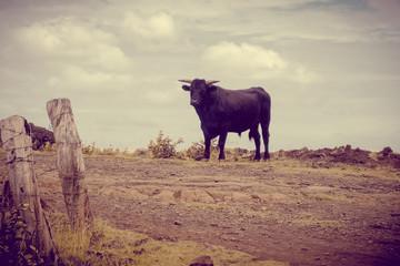 Wild bull on easter island cliffs