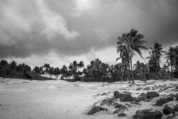 Palm trees on Anakena beach, easter island. Black and white picture