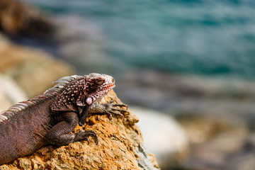 Wild green iguana on the rocks of St. Thomas, US Virgin Islands. Close up photo of a lizard in the sun.