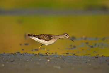 The wood sandpiper (Tringa glareola) hunting for worms