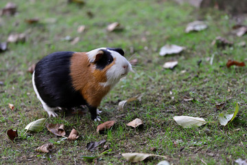 Full body of black-white-brown domestic guinea pig (Cavia porcellus) cavy