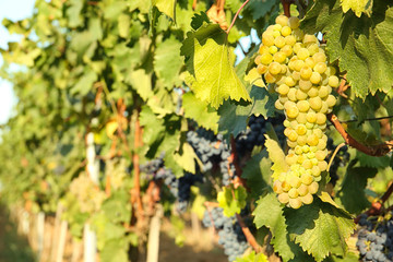 Bunches of grapes growing in vineyard on sunny day. Wine production
