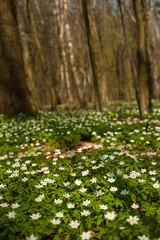 Anemone nemorosa flower in the forest in the sunny day. Wood anemone, windflower, thimbleweed.