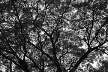 Look up at the trees in the forest. The nature of the green tree Has a beautiful branch. The sky is the background.Black and White concept.