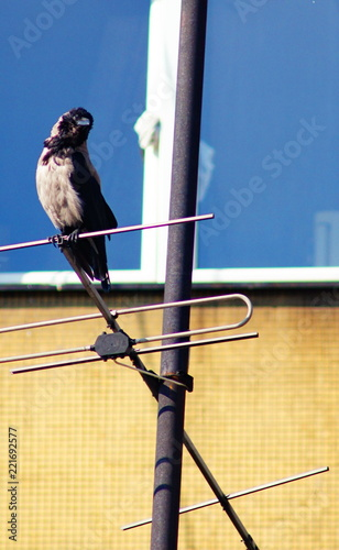 The crow on tv antenna