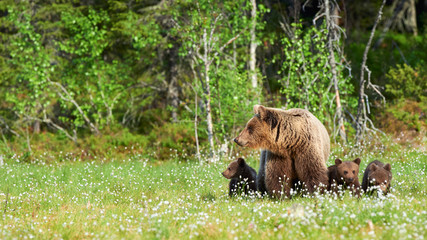 Female brown bear and her cubs.