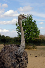 Portrait of South African female common ostrich (Struthio camelus)