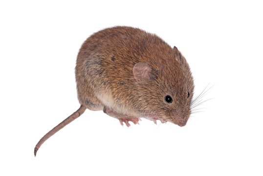 Bank Vole, Field Mouse (Clethrionomys glareolus), isolated on White Background