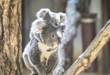 Photo Stands Koala コアラの親子