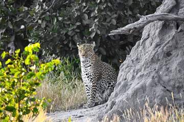 Leopoard in Moremi Game Reserve
