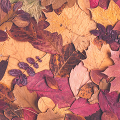 Autumn background made of dried leaves. Autumn, fall, thanksgiving day concept. Flat lay, top view, square, copy space