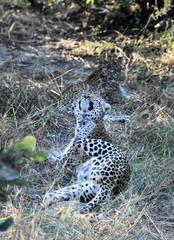 Leopoard in Moremi Game Reserve