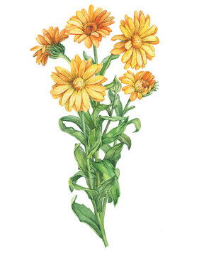 Bouquet of branches orange Calendula officinalis (also known as the field, marigold, ruddles) flower close up. Watercolor hand drawn painting illustration isolated on a white background.