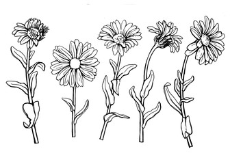 Set with Calendula officinalis (also known as the field, marigold, ruddles) flower close up. Black and white outline illustration hand drawn work isolated on white background.