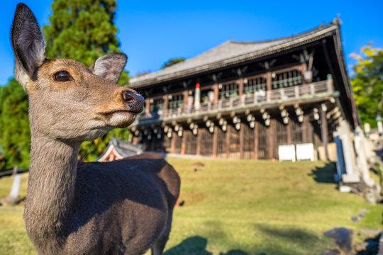 東大寺二月堂と鹿