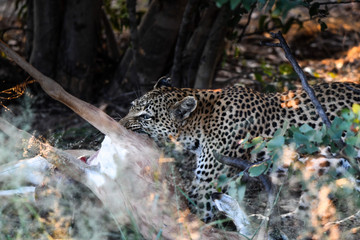 Leopard in Moremi Game Reserve