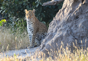 Leopard in Moremi Game Reserve
