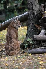 Full body of eurasian lynx (lynx lynx) in the forest