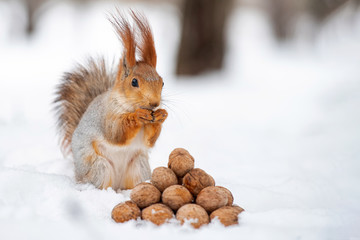 Fotobehang Eekhoorn The squirrel stands with nut in paws on the snow in front of a pile of nuts