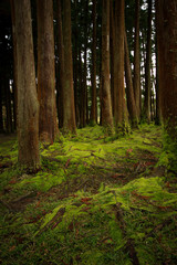 Old trees in a forest with the floor covered with moss. Azores islands. Portugal