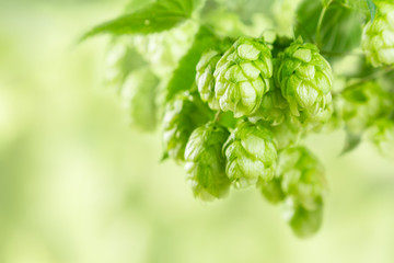 Papiers peints Biere, Cidre Branches of hops on blur green background, farm, beer ingredients, copy space